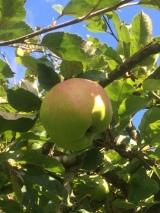 cats head apple