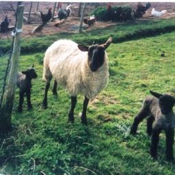 lambs ewe