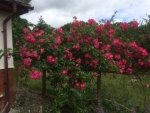 american pillar rose