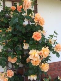 rose-february-gold